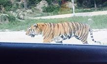 """野生动物园游客爱""""作死""""法律问题探究"""