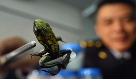 箭毒蛙活体被截获 毒性强几分钟可致心脏骤停