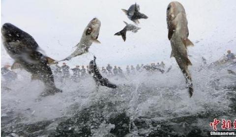 千岛湖畔巨网捕鱼万鱼跃起 场景壮阔激荡一众人心!