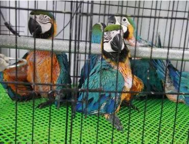 74只珍稀鹦鹉被塞进塑料瓶走私 走私珍贵动物怎么处罚