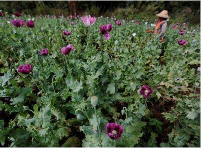 75岁老太误种罂粟被判5年 非法种植罂粟怎么处罚?
